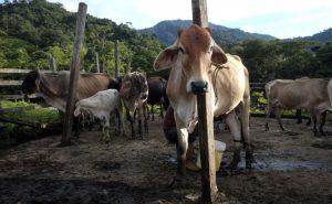 17 ganado leche afp 300x185 - Con drones y extinción de dominio combatirán la fiebre aftosa