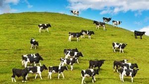 vacas 004 300x169 - Descubra cómo el campo colombiano está adoptando la tecnología