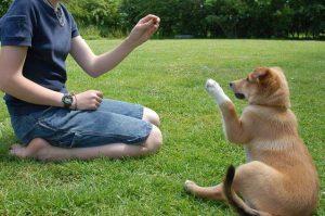 adiestramiento canino 300x199 - Cómo hacer para que su perro sea educado