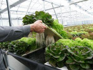 como hacer un cultivo hidroponico de raiz flotante 4161 XL 300x225 - Las mujeres que cultivan en las terrazas del centro de Bogotá