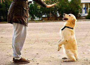cursos de adiestramiento canino 300x217 - Cómo hacer para que su perro sea educado