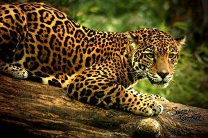 the intensity of jaguar eyes by naturepunk d4736mm 300x200 - Sostenibilidad, la acción presente con mayor futuro