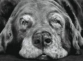 2091 perro viejo  copia - Las mascotas también se vuelven viejas