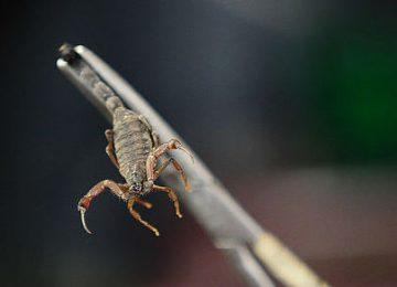 image003 1 360x260 - Veneno de escorpión serviría para tratar cuatro tipos de cáncer