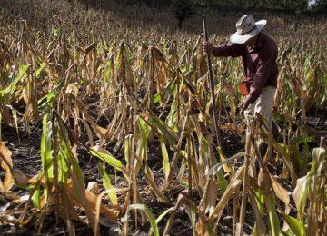 Maiz seco 360x260 - Crisis Global de Salud por Cambio Climático