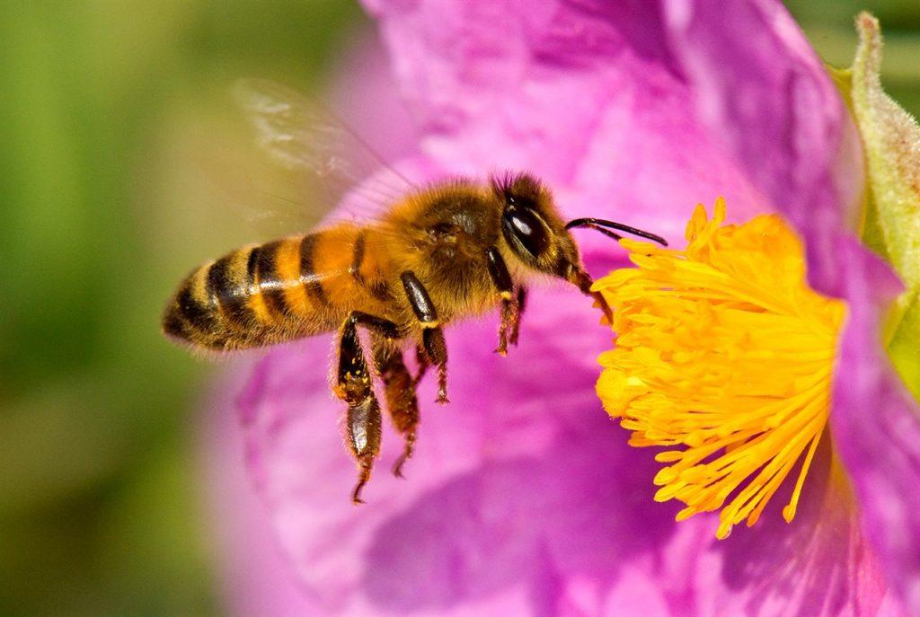 abeja europea apis mellifera tambien llamada abeja domestica o abeja melifera 5650b4a0 1280x859 1024x687 - Abejas, agroquímicos y alimentos