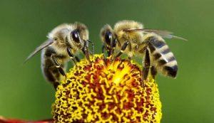 abejas 300x173 - Abejas, agroquímicos y alimentos