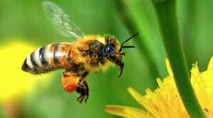 onu disminucion de abejas y ot png 604x0 300x166 - Abejas, agroquímicos y alimentos