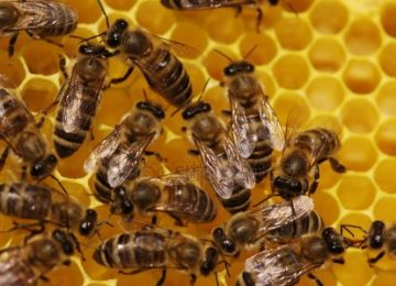 depositphotos 1747490 stock photo bee 360x260 - El hexágono y las abejas