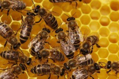 depositphotos 1747490 stock photo bee - El hexágono y las abejas