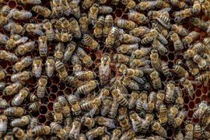 depositphotos 81018096 stock photo healthy honey bee frame covered 300x200 - El hexágono y las abejas