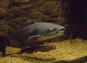 """1024px blue catfish 360x260 - Los peces amazónicos enfrentan """"nuevas amenazas"""""""