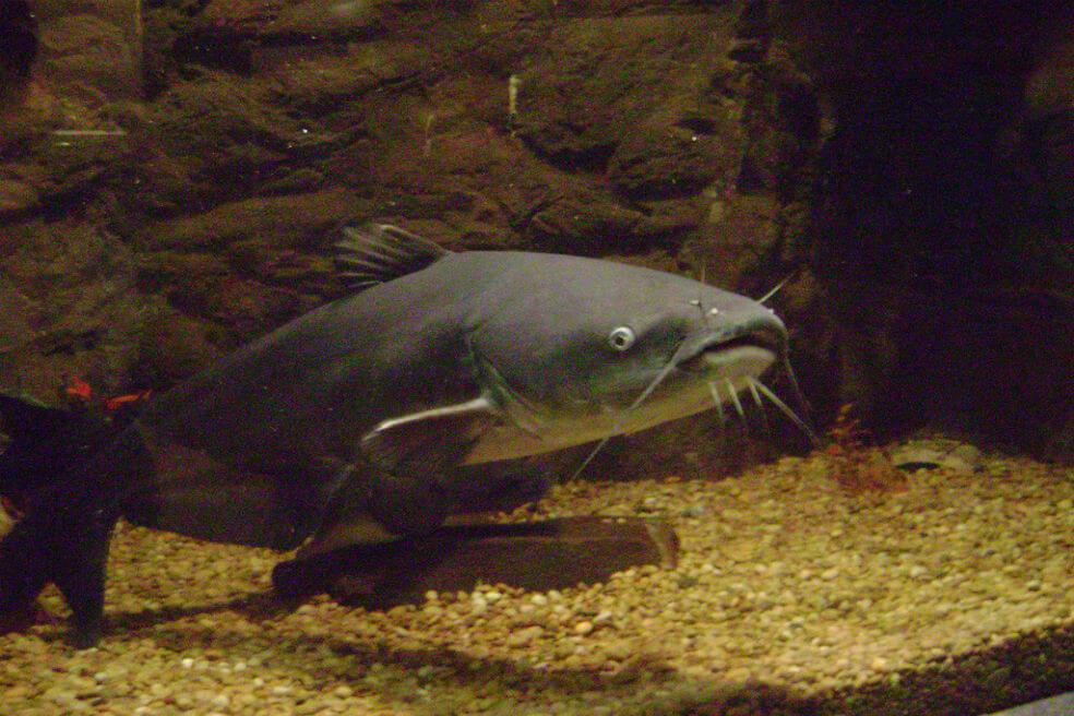 """1024px blue catfish - Los peces amazónicos enfrentan """"nuevas amenazas"""""""