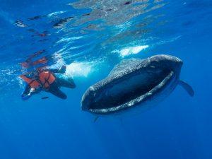 """Whale shark in Isla Mujeres Mexico Dr Simon Pierce Marine Megafauna Foundation 3 300x225 - """"Día Mundial de Limpieza 2019"""": ¿qué es y cómo sumarte a la iniciativa?"""