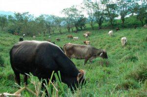 vacas reses pasto campo colprensa 300x199 - La producción de petróleo y gas está contribuyendo al calentamiento global más de lo que se pensaba