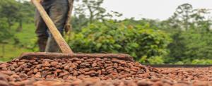 c 300x122 - Primera Feria Virtual de Cacaoteros para incentivar la recuperación económica de Cundinamarca.